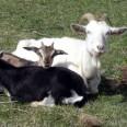 Big Goats