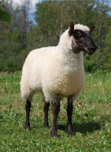 clun forrest sheep