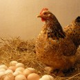 Cage-Free-Hen