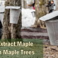 Maple_Sap