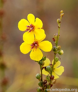 Mullein yellow flowers