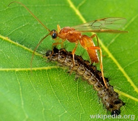 Brachonid (Parasitic) Wasps