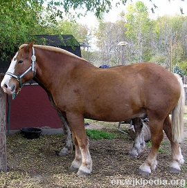 belgian horses are probably the most common work horse used in america ...