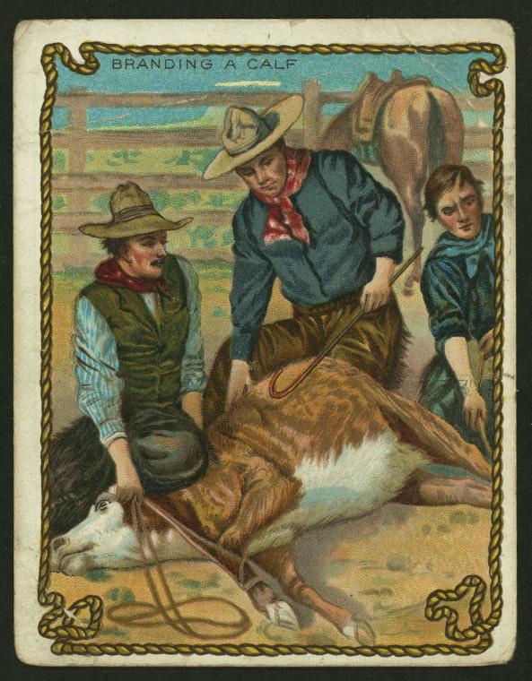 branding calves