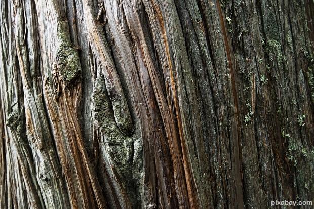 cedar-tree