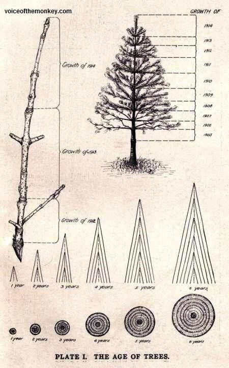 tree age