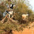 33416350 - goats feeding on argan trees in morocco