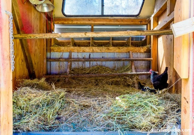 Chicken coop winter