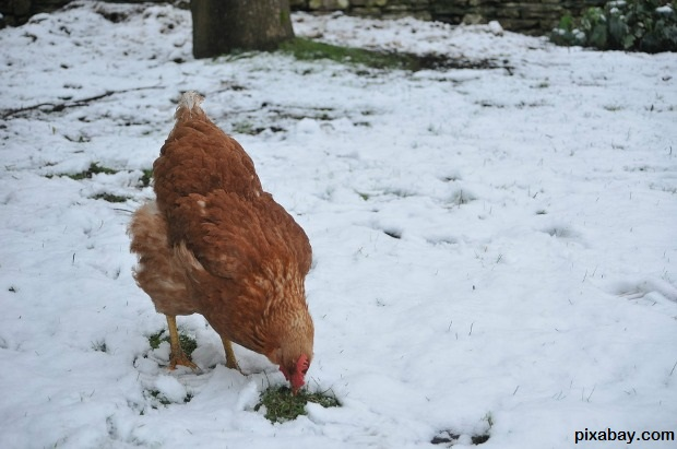 Hen Feeding During Winter